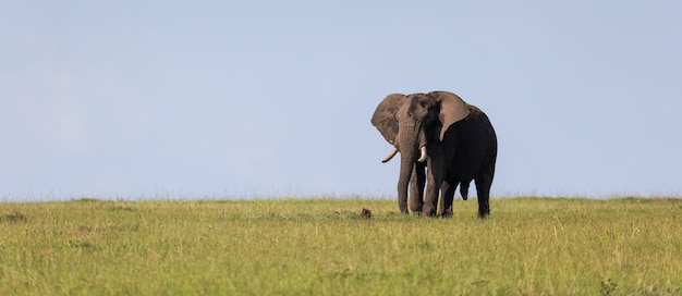 A lonely elephant walks through the savannah