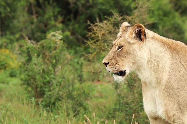 Leone femminile solo che cammina nel parco nazionale degli elefanti di addo
