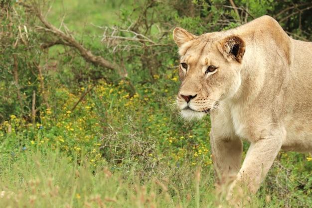 アッド象国立公園を歩く孤独な雌ライオン