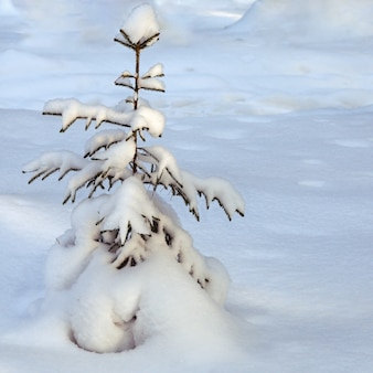 Lonely fir tree covered with fluffy snow among the snowdrifts, winter tree