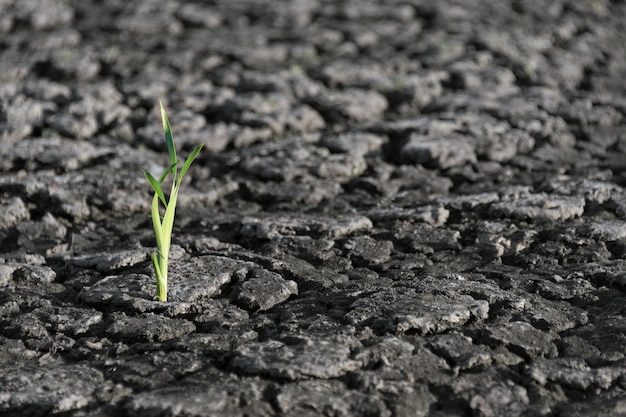 Lonely green sprout in dry cracked ground