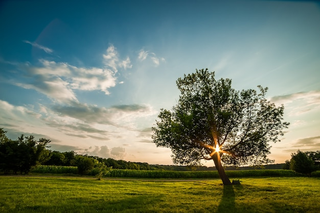 Lonely green tree on sunset, summer landscape