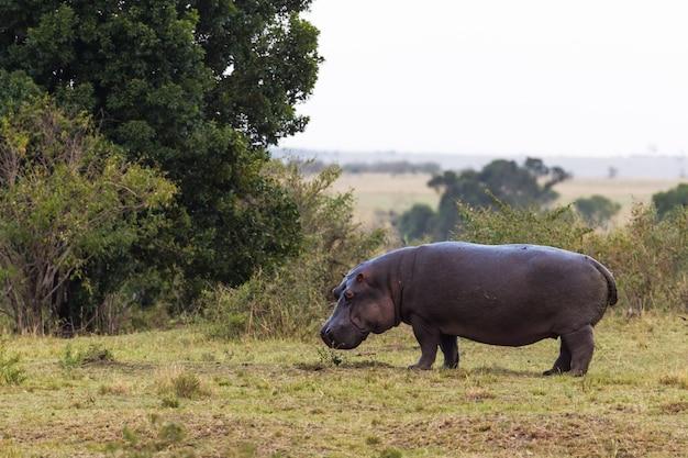 Одинокий бегемот на берегу реки мара кения африка