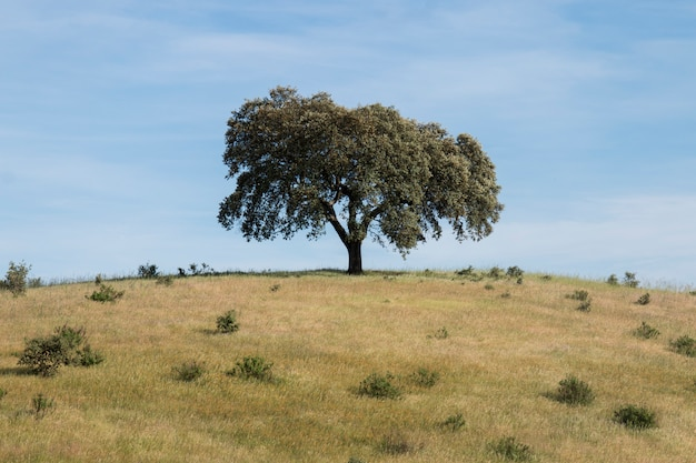 Lonely holm oak tree