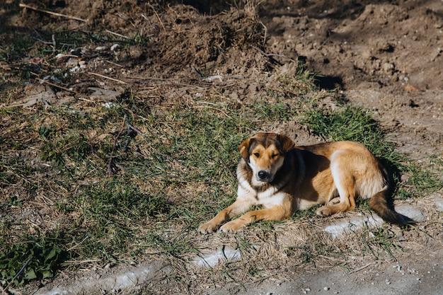 Одинокая бездомная бездомная собака лежит на городской дороге.