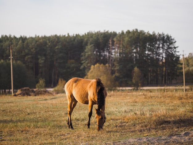 Lonely horse in an autumn field eating grass
