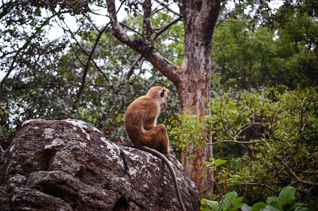 Lonely monkey ceylon macaque on the rock