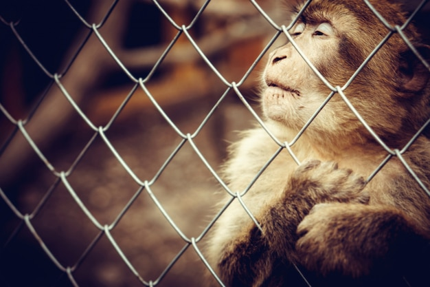 Lonely monkey sitting behind the cage at the zoo