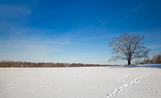 Lonely oak tree in a field.