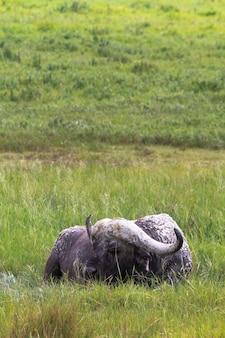 ンゴロンゴロクレーターの孤独な古いアフリカスイギュウ。タンザニア、アフリカ
