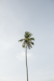 Одинокая тропическая экзотическая кокосовая пальма на фоне большого голубого неба. нейтрально. концепция лета и путешествий на пхукете
