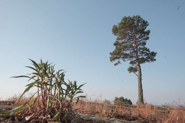 A lonely pine tree in the northern region. nordic landscape