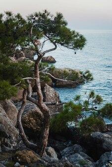 바위 해변에 외로운 소나무