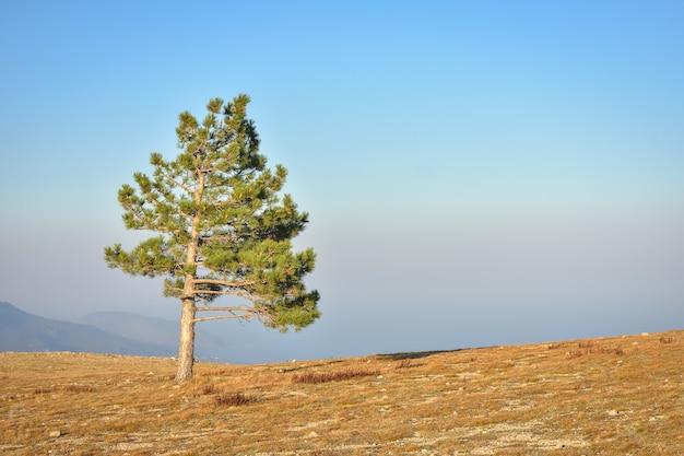 孤独な松の木の岩、木の山、崖の上の松