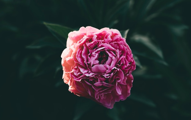 Lonely pink unblown peony bud