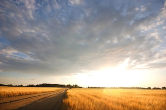 Lonely road with a wheatfield at sunset