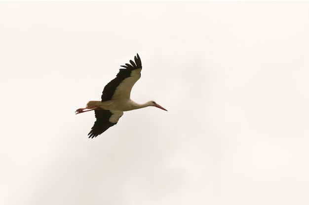 Lonely stork flying over the sky