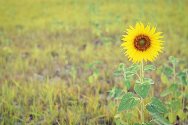 Lonely sunflower in the meadow