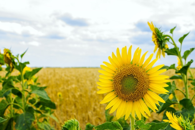 Lonely sunflowers in a field of wheat on a summer day