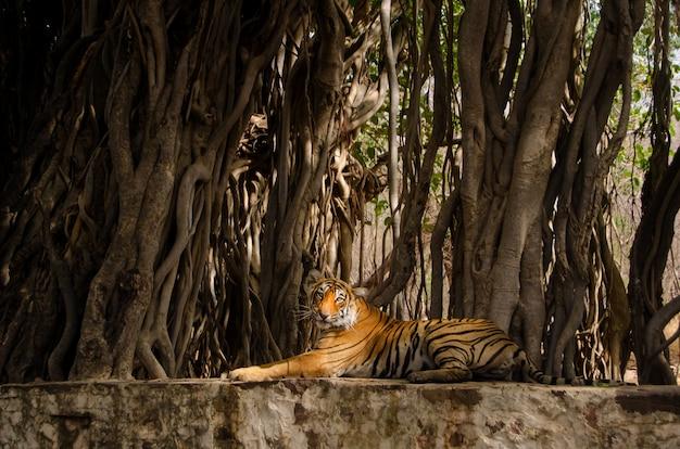 Одинокий тигр сидит возле корней деревьев и отдыхает в джунглях