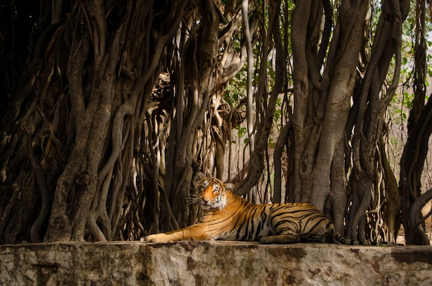 Lonely tiger sitting near tree roots and relaxing in the jungle