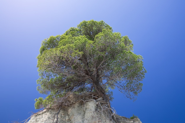 Lonely tree on a cliff against the background of the purest blue sky.