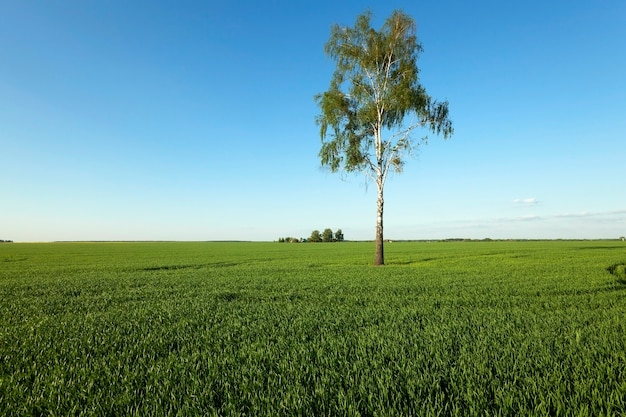 Lonely tree growing on agricultural field. belarus