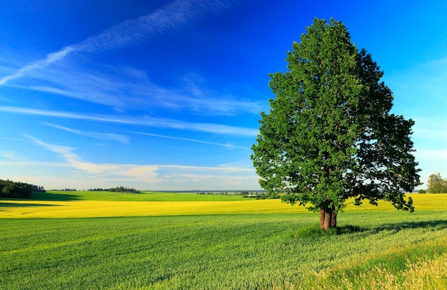 A lonely tree growing on agricultural field. belarus