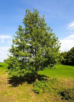 農地で育つ孤独な木。夏。背景には小さな森が生えています。