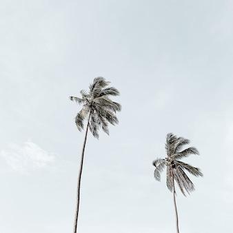 大きな青い空を背景に孤独な2つの熱帯のエキゾチックなココナッツヤシの木