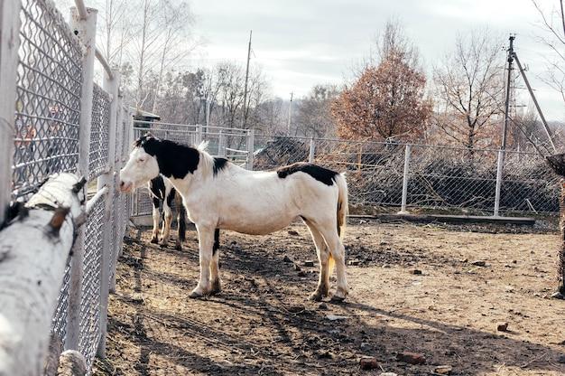 黒い斑点のある孤独な白いアルビノ馬。手入れの行き届いた豪華なサラブレッド種の馬が干し草をかすめて食べます。黒いたてがみを持つ美しい馬。農場の動物園で白い斑点のある馬。