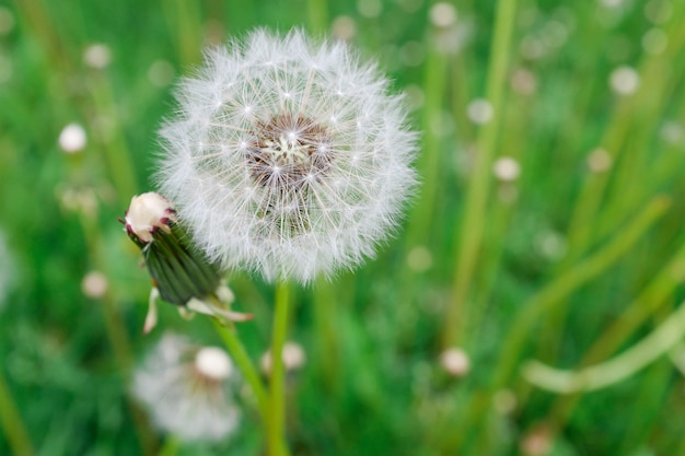 Lonely white fluffy dandelion on a background of green grass on a spring or summer day, close-up. selective focus