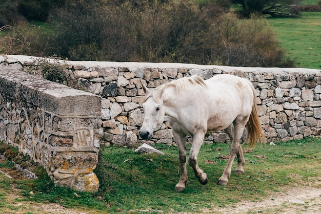Lonely white horse walking near a stone wall