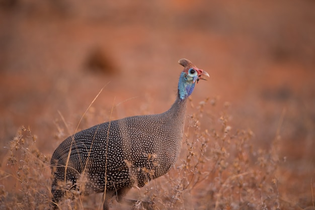Lonely wild turkey walking in a bush field with a blurred background