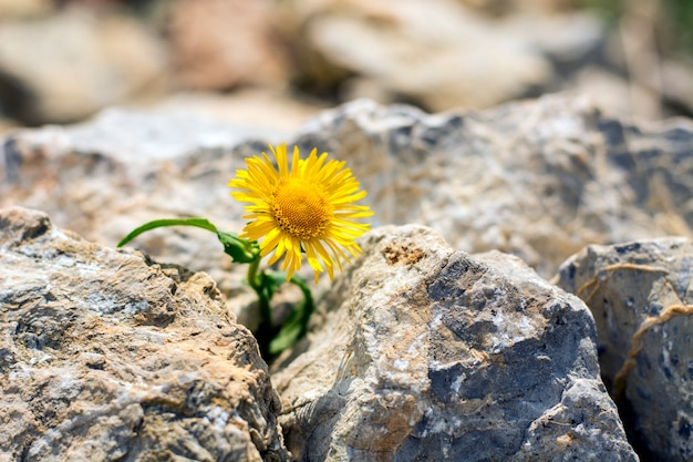 Lonely yellow dandelion growing in small rocks