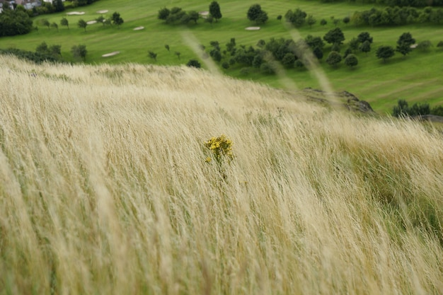 Lonely yellow plant among the tall grass on top of a hill