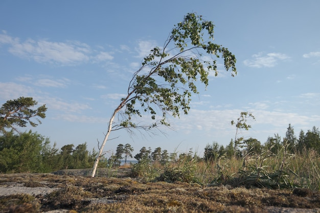 Lonely young birch. nordic landscape