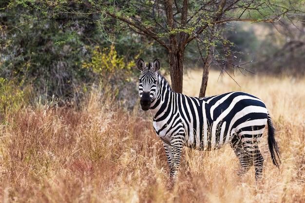 Одинокая зебра в парке меру кения африка