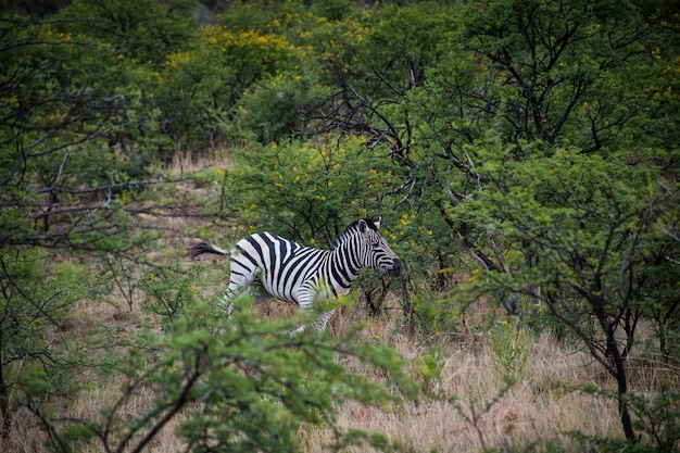 Lonely zebra running near green trees in a forest during daytime