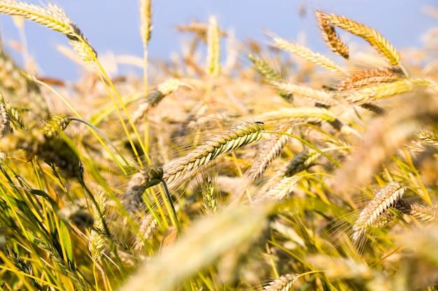 長い穀物の小穂