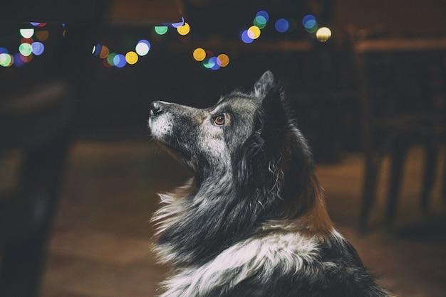 ロングコートの黒と白の犬