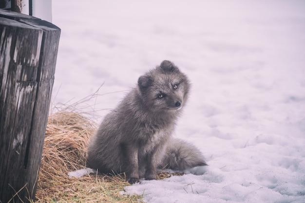 雪に覆われた地面に座っている長いコートの灰色の犬