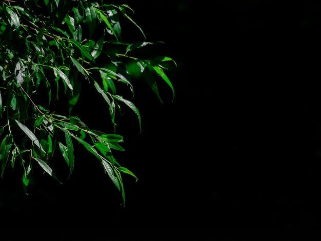 黒の背景の枝にシダレヤナギの長く濃い緑色の葉