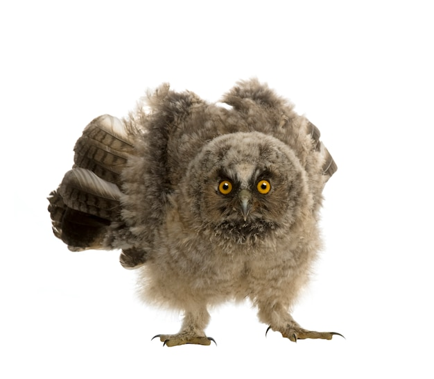 Long-eared owl - asio otus on a white isolated