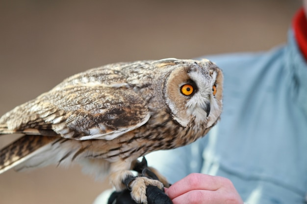 Long-eared owl rendered in the field to fly and to hunt. tamed animal. asio otus