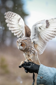 Long-eared owl rendered in field to fly and hunt