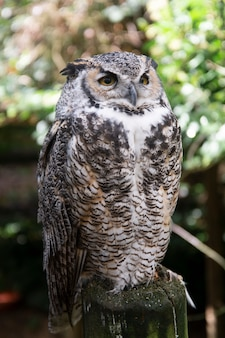 Long-eared owl witting on branch. wild birds in nature.