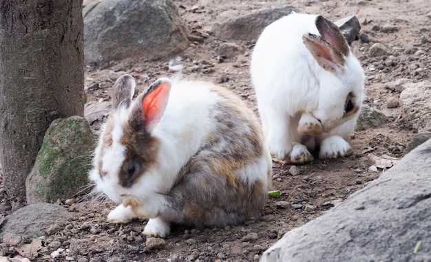 Long-eared rabbit is suffering from skin disease. ringworm disease from infection and inflammation.