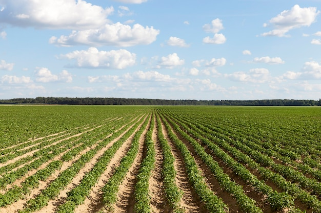 Long furrows with a green potato on the territory of an agricultural field, a summer landscape of a new large potato crop