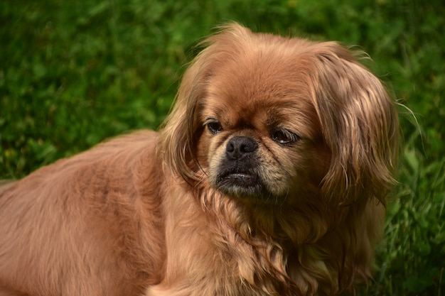 Long ginger fur on a cute pekingese puppy dog sitting outside.